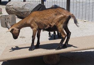 Oberhasli Goat