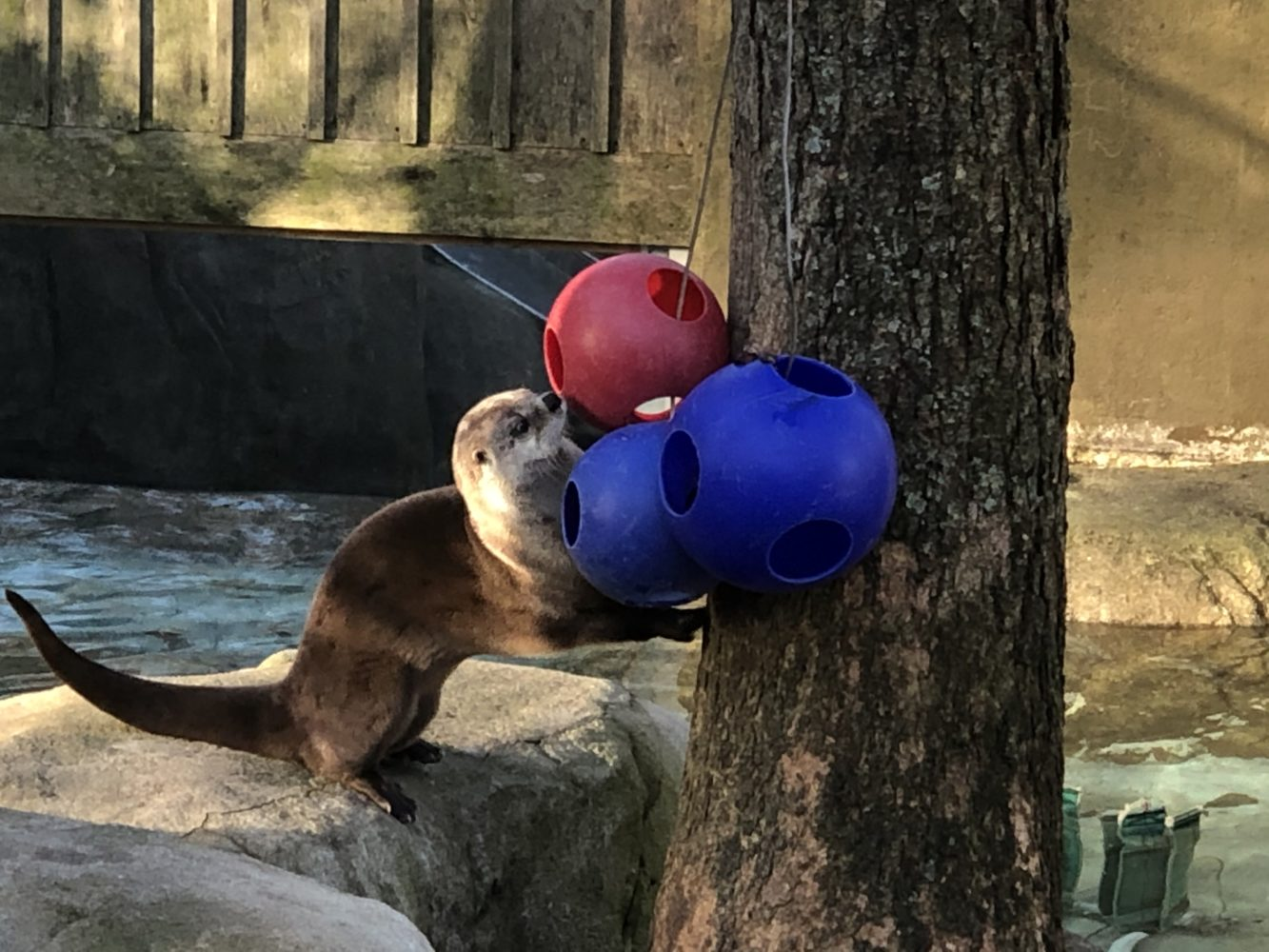 An otter engages with puzzle enrichment.