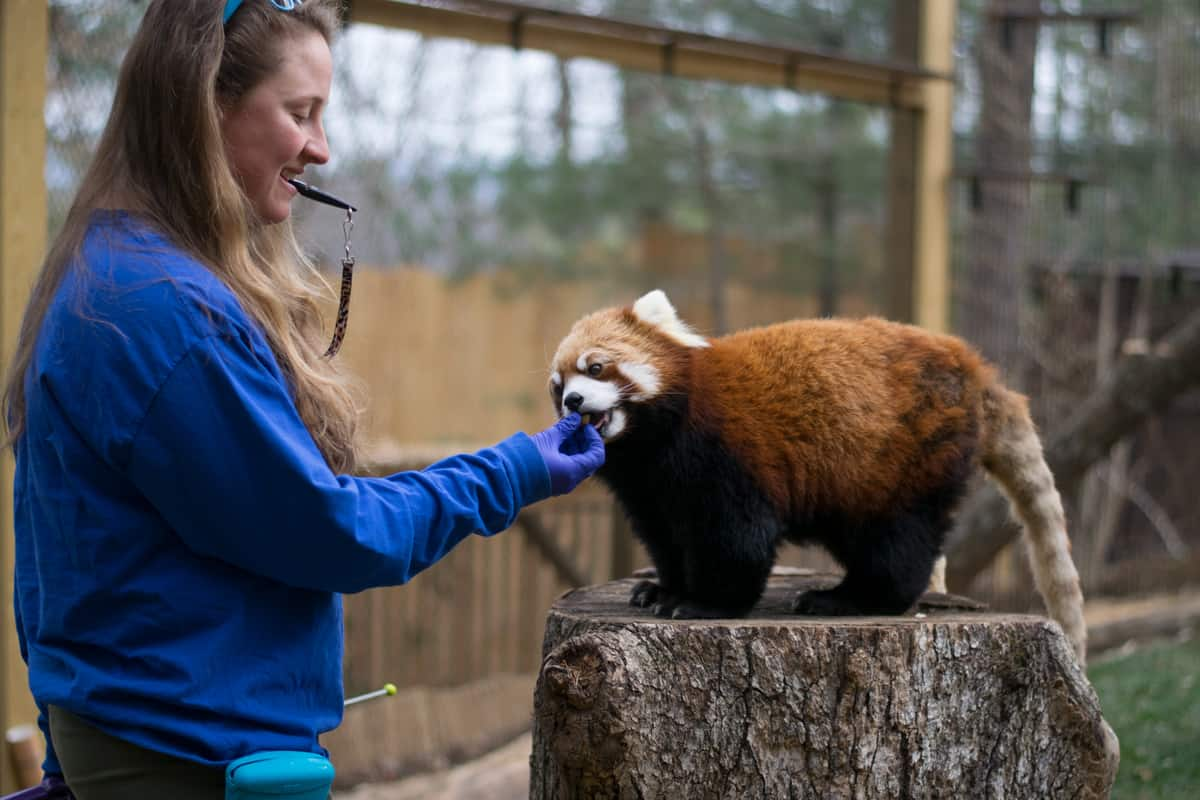 A red panda participates in behaviorial training.