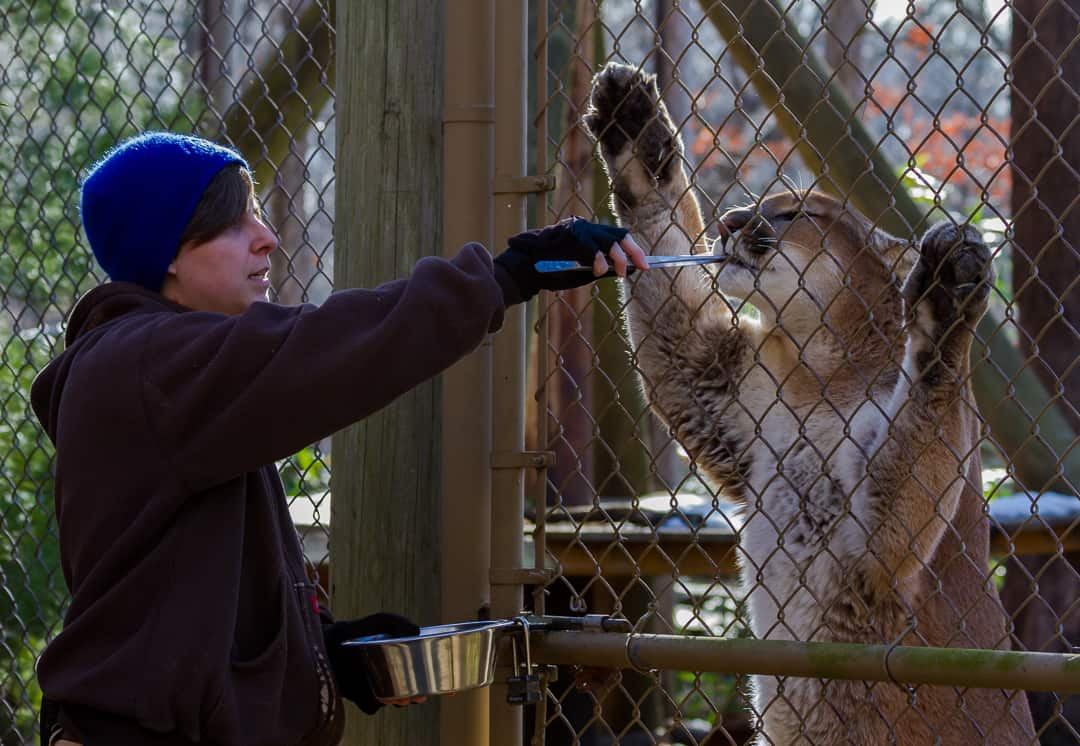 Nature Center staff feed the cougar.