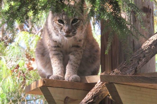 Missy the Bobcat