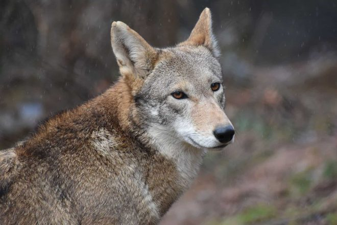 Red Wolf Karma