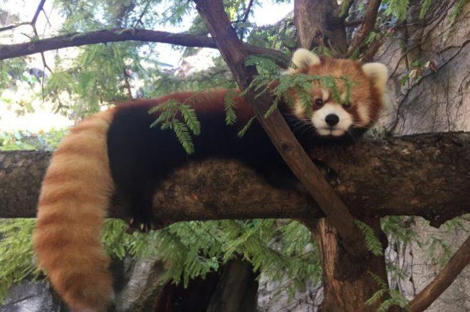 Leafa the Red Panda