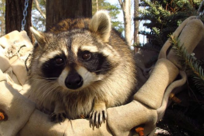 Sassy the Raccoon