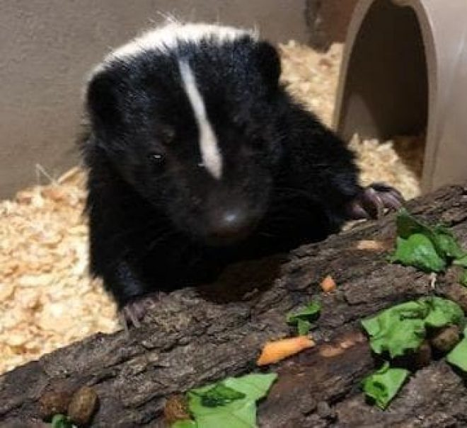 Elvis the Skunk